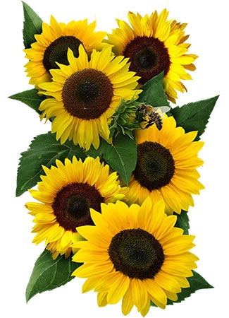 Dwarf Sunspot Sunflower Seeds (Helianthus annuus)