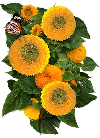Dwarf Teddy Sunflower Seeds (Helianthus annuus)