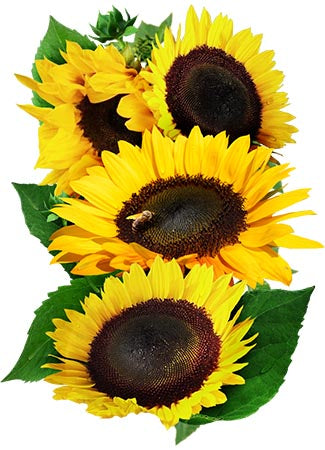 Henry Wilde Sunflower Seeds (Helianthus annuus)