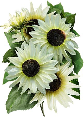 Italian White Sunflower Seeds (Helianthus annuus)