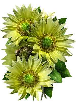 Jade Sunflower Seeds (Helianthus annuus)