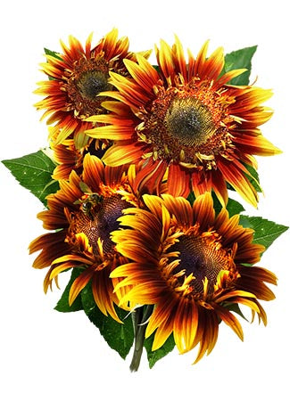 Joker Sunflower Seeds (Helianthus annuus)