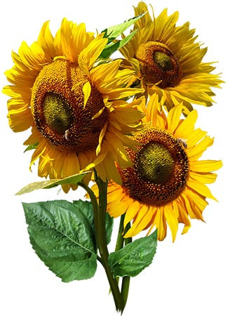 Mammoth Grey Stripe Sunflower Seeds (Helianthus annuus)