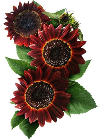Moulin Rouge Sunflower Seeds (Helianthus annuus)