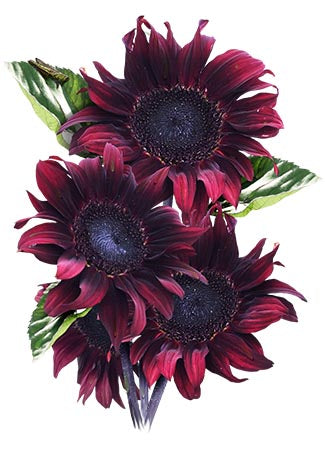Procut Red Sunflower Seeds (Helianthus annuus)
