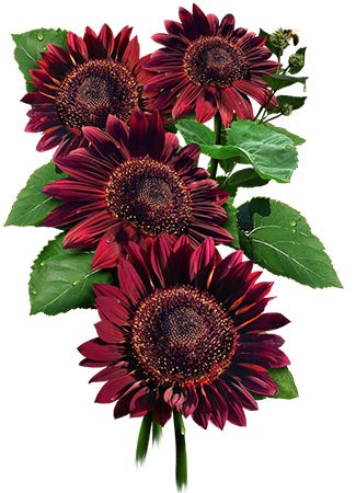Red Sun Sunflower Seeds (Helianthus annuus)