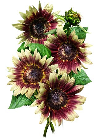 Ruby Eclipse Sunflower Seeds (Helianthus annuus)