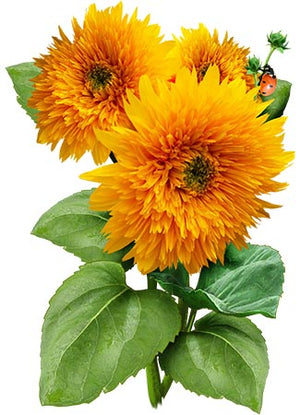 Tall Sungold Sunflower Seeds (Helianthus annuus)