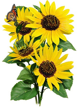 Wild Sunflower Seeds (Helianthus annuus)