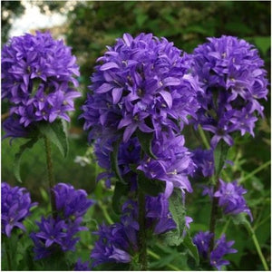 Bellflower Superba