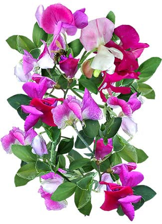 Little Sweetheart Sweet Pea Mixture (Lathyrus odoratus)