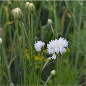 Tall White Cornflower