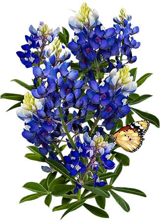Texas Bluebonnet Seeds (Lupinus texenis)
