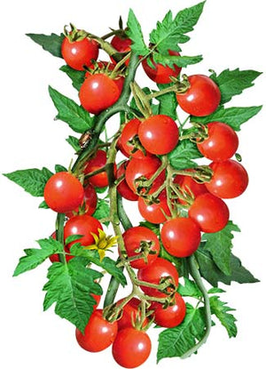 Large Red Cherry Tomato Seeds (Solanum lycopersicum)