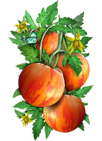 Red Zebra Tomato Seeds (Solanum lycopersicum)