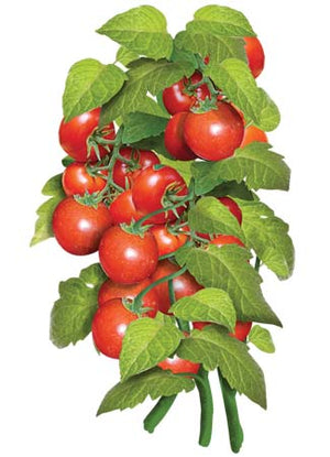 Tiny Tim Tomato Seeds (Lycopersicon esculentum)