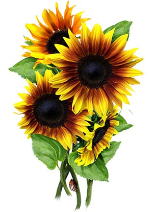 Firecracker Sunflower Seeds (Helianthus annuus)