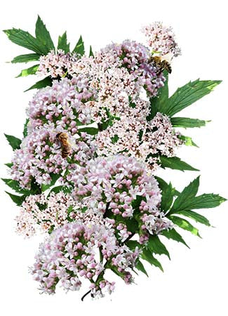 Common Valerian Herb Seeds (Valeriana officinalis)