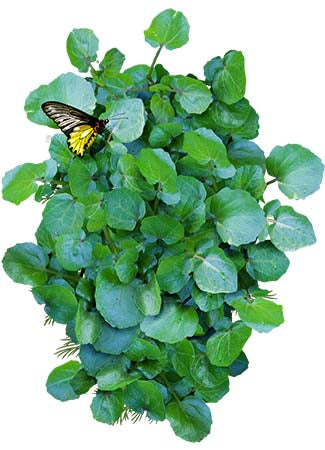 Watercress Herb Seeds (Nasturtium officinale)