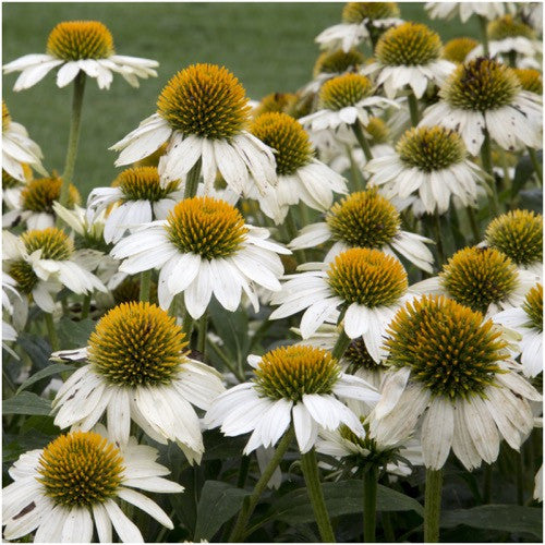 white swan coneflower