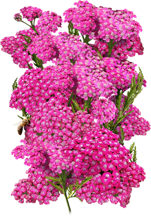 cerise queen yarrow seeds for planting