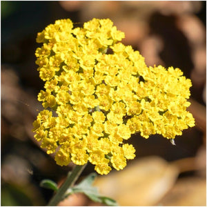 Gold Yarrow