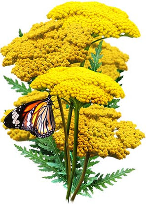 Gold Yarrow Seeds (Achillea filipendulina)