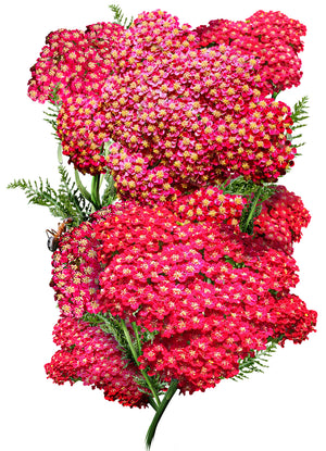 Red Yarrow Seeds