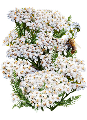 White Yarrow Seeds