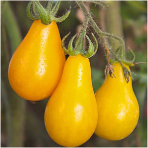 yellow pear tomato