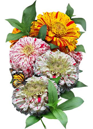 Candy Stripe Zinnia Mixture (Zinnia elegans)