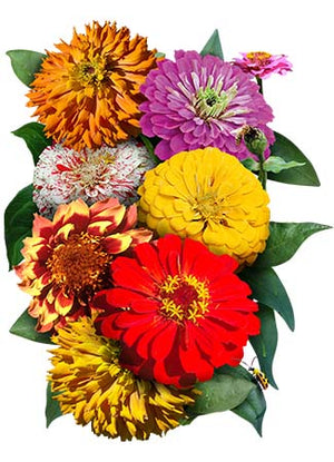 Crazy Zinnia Mixture (Zinnia elegans)