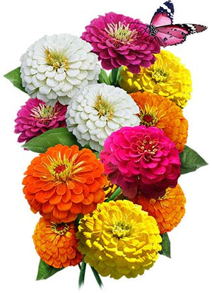 Lilliput Zinnia Mixture (Zinnia elegans)