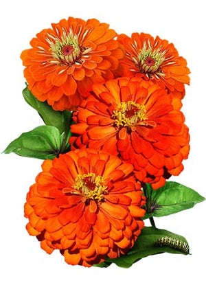 Orange King Zinnia Seeds (Zinnia elegans)