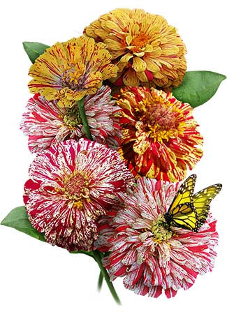 Peppermint Stick Zinnia Mixture (Zinnia elegans)