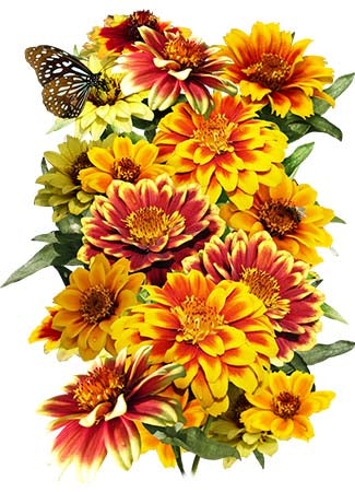 Persian Carpet Zinnia Mixture (Zinnia elegans)