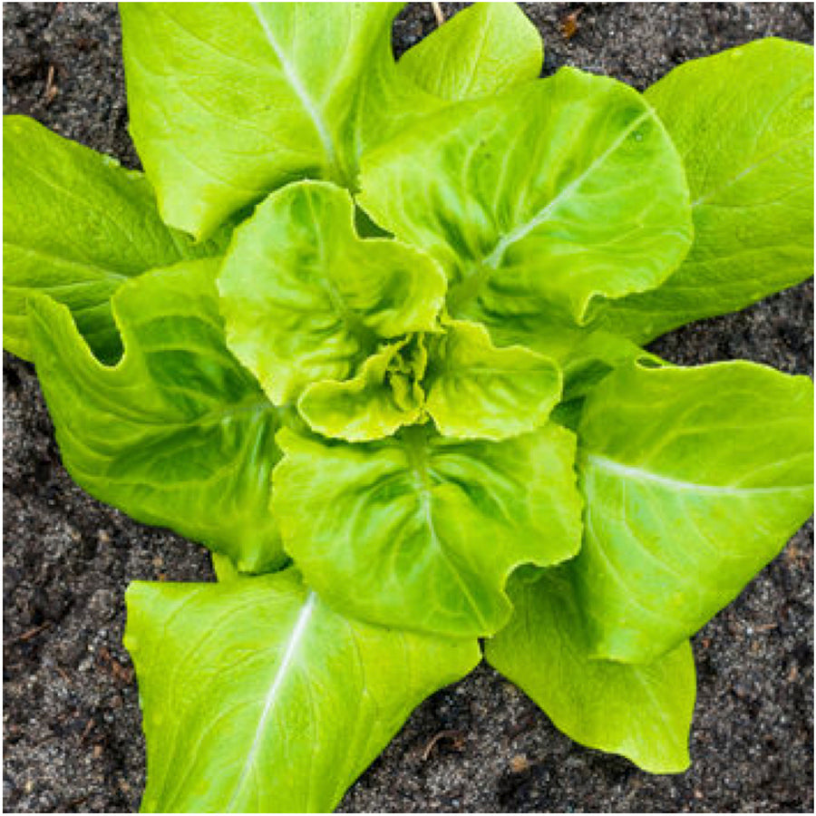 Buttercrunch Lettuce Seeds (Lactuca sativa)