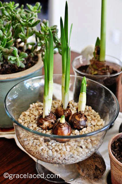 Winter Bulbs In Progress {Week 3}