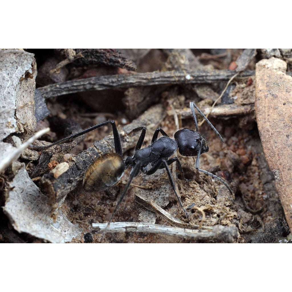 Banded Sugar Ant / Camponotus consobrinus Queen Only - Ant