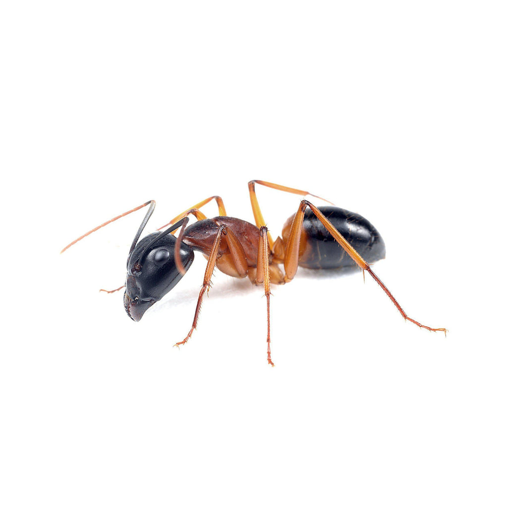 Ant Colony 1 - PART 2 - Banded Sugar Ants Camponotus