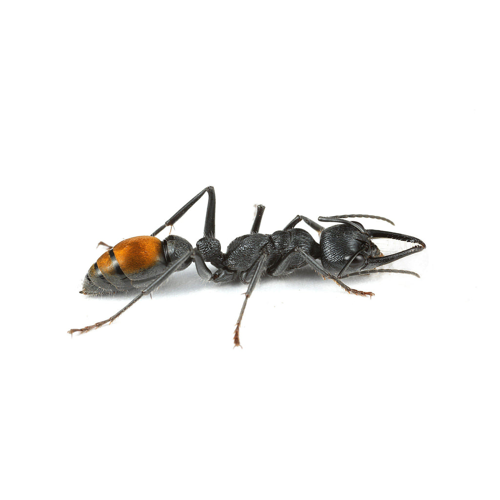Myrmecia piliventris Queen Only - Ant Keeping Depot