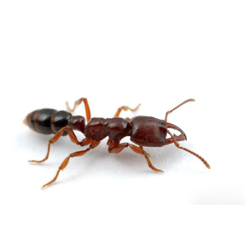 Dracula Ant / Amblyopone australis Queen Only - Ant