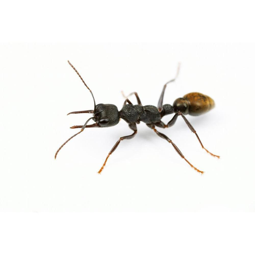 GTRL Bull Ant / Myrmecia fulvipes Queen Only - Ant Keeping