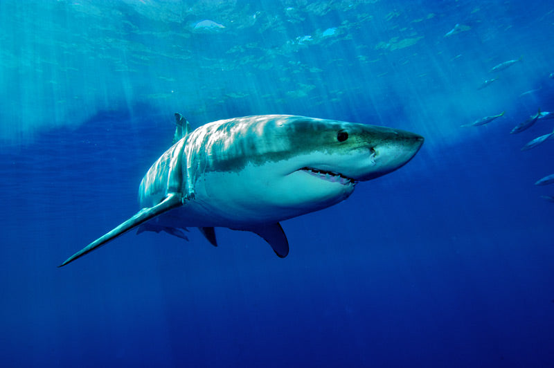 bigstock-White-Shark-15911483