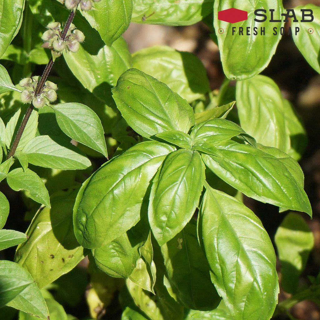 Basil Oil | Essential Oil | SLAB FRESH SOAP™