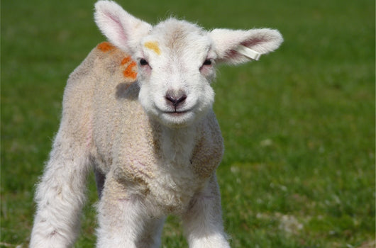 Lambing Experience Day 2020