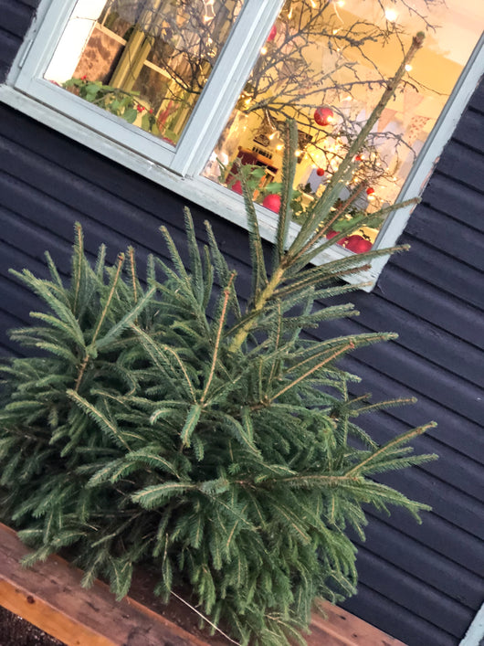 Church Farm Traditional Norway Spruce Christmas Trees