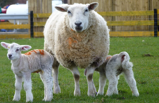 Lambing Experience Day