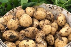 Church Farm Maris Piper Potatoes (7.5kg sack)