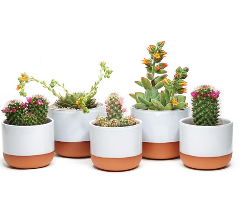 Assorted Prick London Succulents for the Black British Gift List